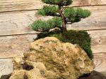 Pinus parviflora op rots