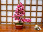 "Rhododendron indicum ""Hoshi-no-Kagayaki"