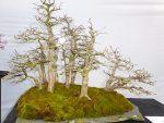 Carpinus turczaninovii Koreaanse beuk