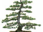 Pinus parviflora (witte den)