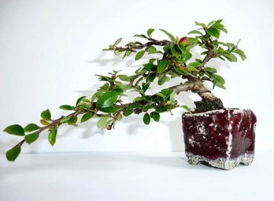 Cotoneaster-horizontalis-3