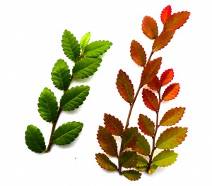 Ulmus parvifolia blad met herfstkleur