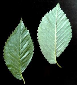Ulmus laevis blad (fladder iep)
