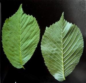 Ulmus glabra