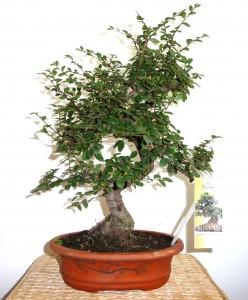 Ulmus parvifolia (chinese import)