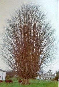 Zelkova carpinofolia (Kaukasis)