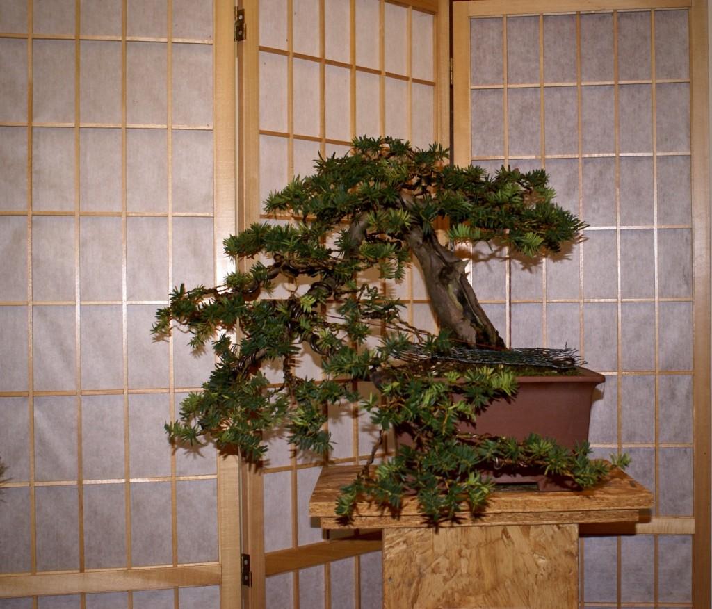 Taxus baccata Eric ter Lingen, 10-11-2010