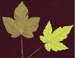 Ijzer gebrek, Acer pseudoplatanus