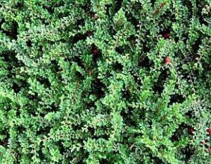 Cotoneaster adpressus little Gem nr.10