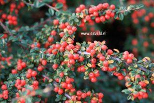 Cotoneaster bessen nr.2