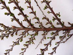 Cotoneaster tak nr. 3