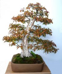 Carpinus turczaninoii