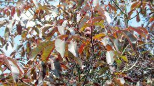 juglans-regia-purpurea