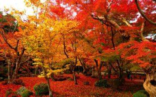 Prachtige herfst Acers