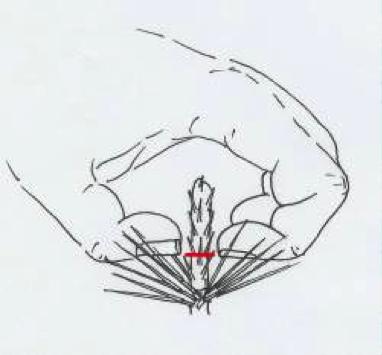 Pinus-1