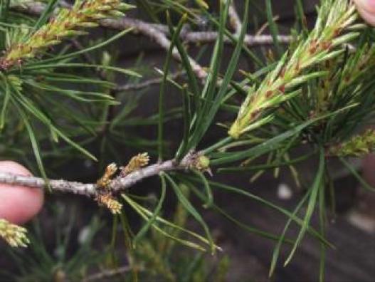 Pinus-10