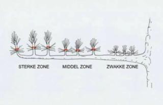 Pinus-2