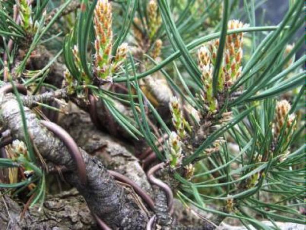 Pinus-5