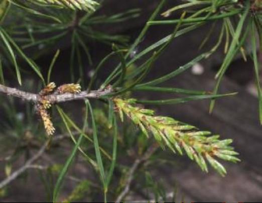 Pinus-8