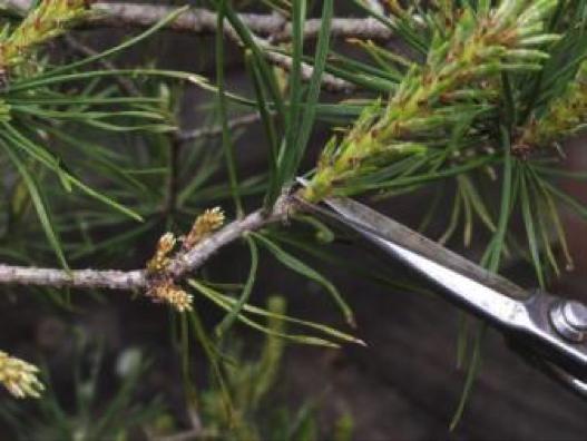 Pinus-9