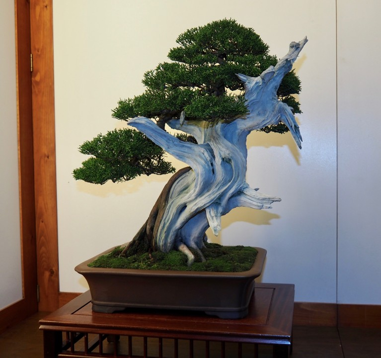 Juniperus chinensis itoigawa, Dominique Bosch