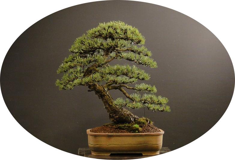 Bonsai Boom Verzorgen : Pinus sylvestris en mugo