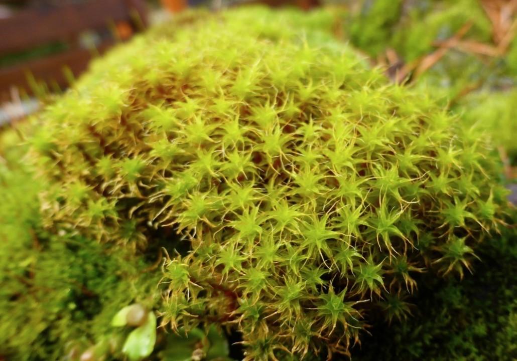 Zandhaarmos- Polytrichum juniperinum